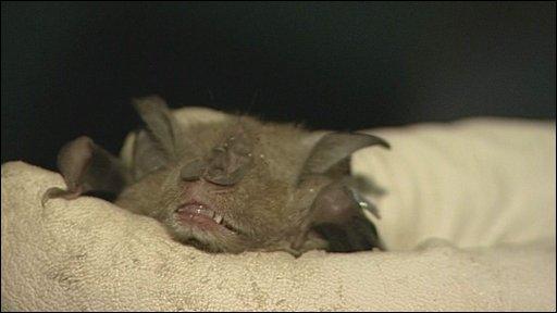 Bat at Tyntesfield House