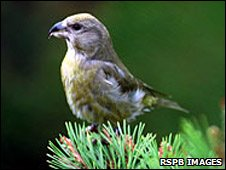 Female Scottish crossbill (Pic: RSPB Images)