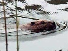 Reintroduced beaver