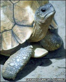 The ploughshare tortoise