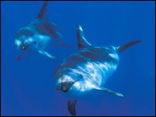 Dusky dolphins [Pic: Ingrid Visser/Orca Research]