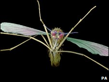 Mosquito (file image)