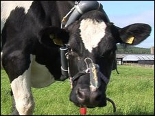 cow with device
