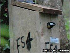 Great tit in a bird box