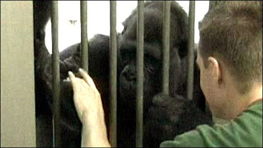 Gorilla being tickled (Current Biology)