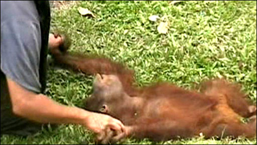 Baby orangutan being tickled (Current Biology)