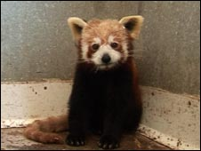 Maggie the Red Panda