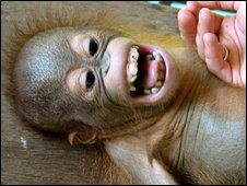 Enero, laughing orangutan