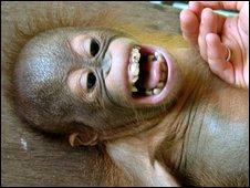 Enero, laughing orangutan