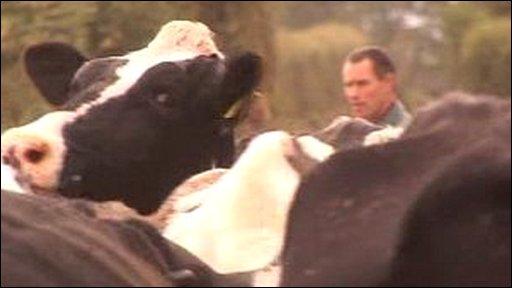 Cows in forground, farmer Gareth Edwards in background