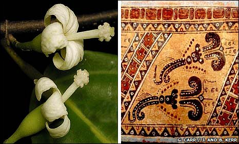 Quararibea flowers and a cocao vessel