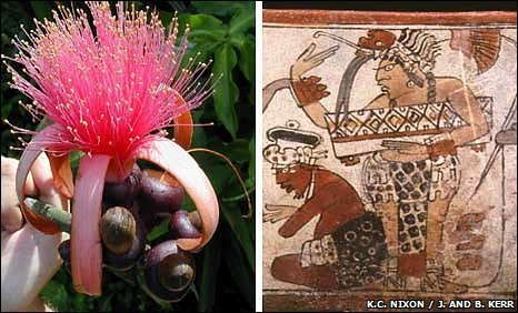 Pseudobombax ellipticum flower and cocao pot artwork