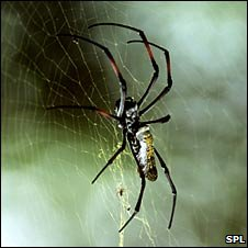 Orb weaver spider
