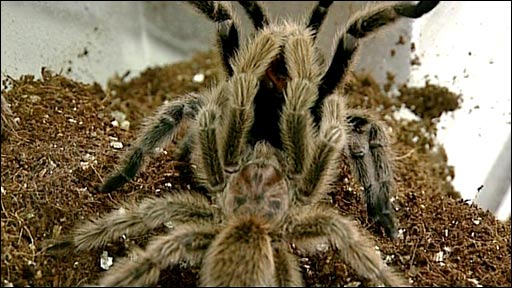 Mating tarantulas