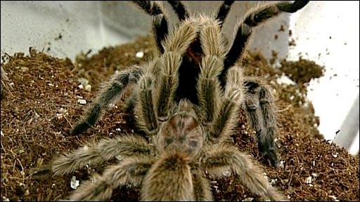 Mating tarantulas