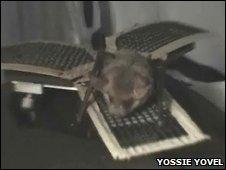 Mouse-eared bat on platform