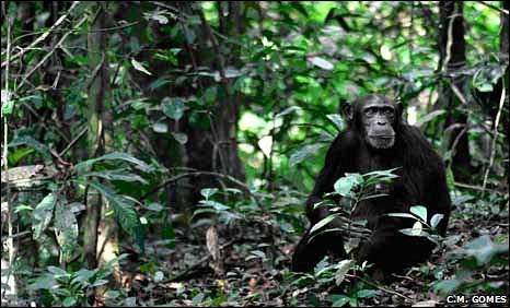 A female chimpanzee in the dense Ta forest, Ivory Coast