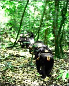 Chimpanzees walking in the Taï forest, with mother carrying her baby on her back