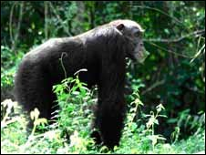 A male chimpanzee eating some leaves on an inselberg