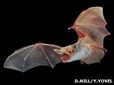 Greater mouse-eared bat (D.Nill, Y.Yovel)
