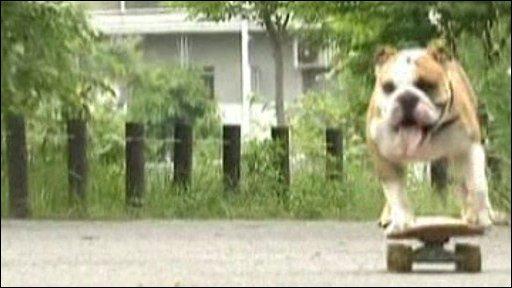 Bazooka the bulldog