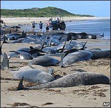 Dead dolphins on an Australian beach (Image: AP)