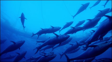 Shoal of bluefin tuna