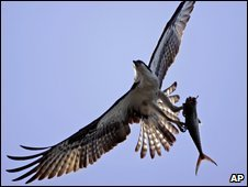 Osprey in flight with a fish (generic)