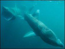 Basking sharks [Pic: Dan Burton Photo]