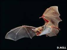 Greater mouse-eared bat (D.Nilll)