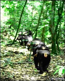 Chimpanzees walking in the Ta� forest, with mother carrying her baby on her back