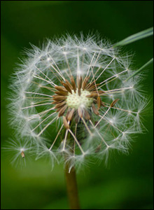 A wonderful close-up of a dandelion in Andrew Jones' garden in Cross Hands, Carmarthenshire.