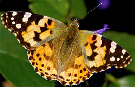 Taha Idris carefully photographed this painted lady butterfly in Singleton Park, Swansea.