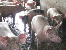 Pigs in industrial farm