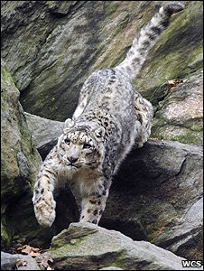 Library photo of a snow leopard (Julie Larsen Maher/WCS)