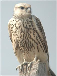 Saker falcon (Image: WCS)