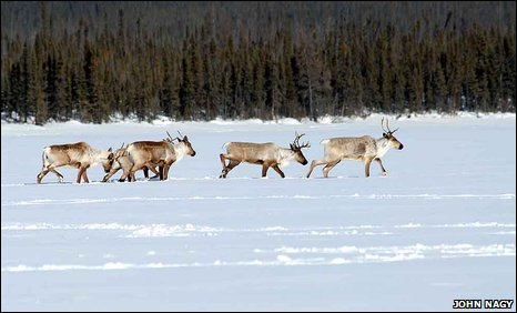 Woodland caribou (R. t. caribou) crossing a frozen lake in winter, in the Northwest Territories of Canada.