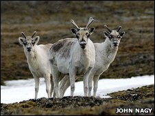 Peary caribou (R. t. pearyi) in the Canadian high Arctic that are just losing their white winter coats and beginning to grow antlers.