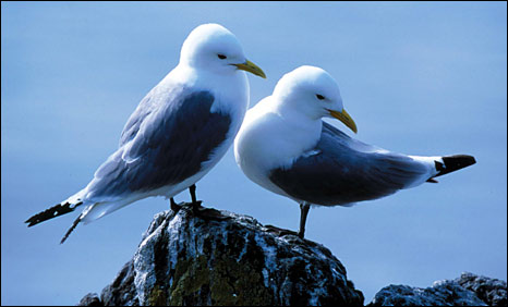Kittiwakes [Pic: RSPB]
