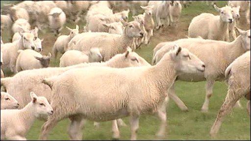 Easy care sheep