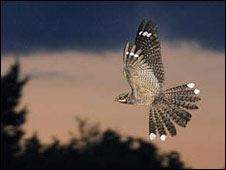 Nightjar in flight by David Tipling