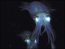 Bigfin Reef squid (Sepioteuthis lessoniana).