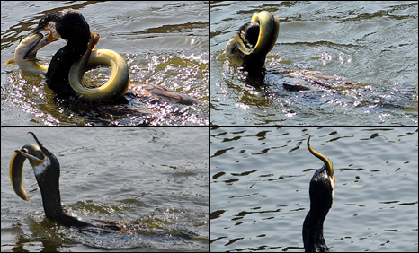 The cormorant struggles with the eel