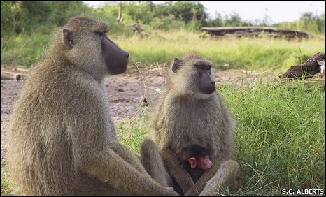 Male, female and infant yellow baboons in Amboseli, Kenya