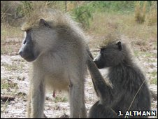 Male and female yellow baboons in Amboseli, Kenya