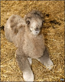 New baby camel at Knowsley Safari Park