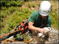 Ranger abseiling to reach a falcon chick