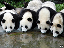 Pandas (Image: AP)
