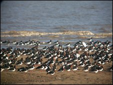 Oystercatchers on the Dee