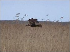 Marsh harrier (Photo: Hannah McVey)